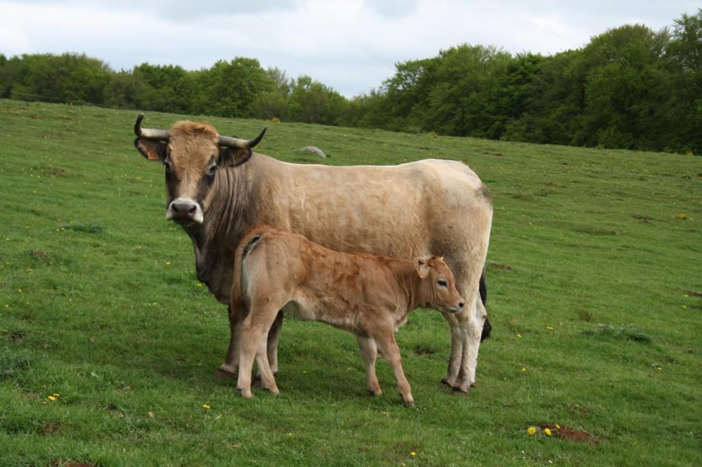 Vache et veau aubrac la chambre de roche for Chambre d hote aubrac