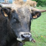 le taureau Aubrac