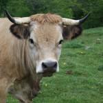 vache Aubrac 2