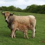 vache et veau Aubrac